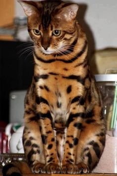 Bengal Cats This so looks like the way I remembered Gandalf. He was a beautiful Bengal, whose fur glittered with gold specks in sunlight. Pretty Cats, Beautiful Cats, Animals Beautiful, Pretty Kitty, I Love Cats, Crazy Cats, Cool Cats, Cute Kittens, Cats And Kittens