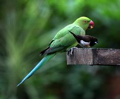 Rose ringed parrot and a Black-white Munia