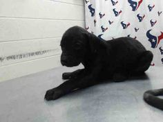 06/12/16-HOUSTON - HIGH KILL FACILITY - This DOG - ID#A460506 I am a female, black Labrador Retriever. The shelter staff think I am about 8 weeks old. I have been at the shelter since Jun 02, 2016. This information was refreshed 6 minutes ago and may not represent all of the animals at the Harris County Public Health and Environmental Services.