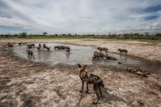 Wild dogs playing in rain filled pans at Chitabe Lediba camp in the Okavango Delta of Botswana African Wild Dog, Pack And Play, Okavango Delta, Summer Rain, Wild Dogs, Wilderness, Adventure Travel, Travel Inspiration, Safari
