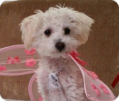 Chatsworth, CA - Maltese/Poodle (Miniature) Mix. Meet Emma, a puppy for adoption. http://www.adoptapet.com/pet/13322945-chatsworth-california-maltese-mix