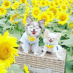 🌻🌻🐶❤️🐶🌻🌻 * * にこっ♡ฅU•ﻌ•Uฅ ひなたんの、この顔可愛すぎる~♡(* ˘ ³˘) ひなたんはチョコ太の1/3サイズ!! * Chocota and Hinata. A nice smile!! * * #🐶 #犬 #わんこ #dog #チワワ #愛犬 #chihuahua #east_dog_japan #todayswanko #pecoいぬ部 #instachihuahua #instadog #instagram #tagsforlikes #dogstagram #petstagram #dogoftheday #ilovemydog #chihuahuasofinstagram #cutedog #dogs_of_instagram #IGersJP #ファインダー越しの私の世界 #カメラ女子 #cute #smile #花 #flower #flowers #dogs