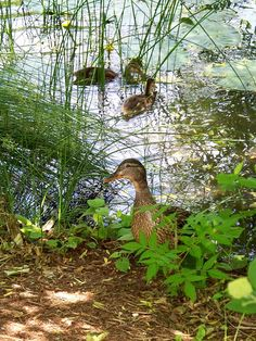 Duck & her ducklings at the National Museum of the American Indian garden pond | by Flickr user woodcut55