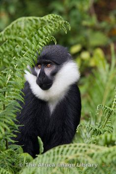 Rwanda, Nyungwe forest, l'Hoest's guenon or l'Hoest's monkey (Cercopithecus l'hoesti)