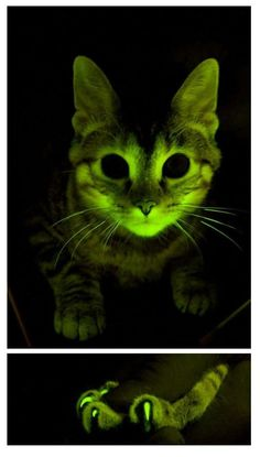A cat genetically engineered to glow green also carries a gene that blocks the virus that causes feline AIDS. Credit: Mayo Clinic