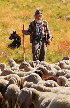 Shepherd bring the sheep down from the high pastures near Selva Italian Dolomites.
