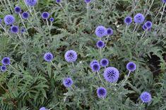 Kogeldistel: Echinops ritro `Veitch`s Blue Bloemkleur: blauw Bloeitijd: juli-september Hoogte: 80 cm Standplaats: zon Aantal planten per m2: 7 Onvolprezen borderplant met grijs-groen blad en stevige stengels met donkerblauwe kogelronde bloemen. Gedijt in elke grondsoort mits die goed doorlatend is. Ook een goede droog- en snijbloem en bijenplant.