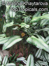 Calathea ornata, Calathea majestica, Calathea Haga clic para ver la imagen a tamaño completo