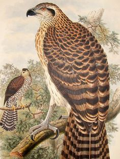 Bird Man, John Gould, Engraving Illustration, Flora And Fauna, Marquis, Love Birds, Ephemera, Printables, Animals