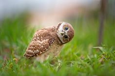 Curious burrowing owlet- Repost with better colors by HE Atala on 500px