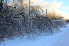 Synchronized Bowing - Birch trees bend under the weight of ice on Christmas Day, 2013. Sear's Island, ME
