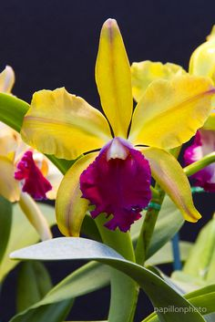 Yellow pink Cattleya orchid