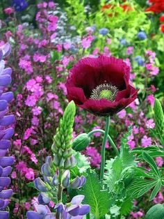 Beautiful and colorful. [Lauren's Grape Papaver (poppy)]