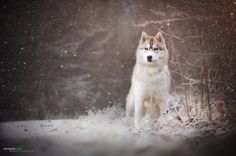 Beauty by Anne Geier on Hunters In The Snow, Quokka, Pomsky, Portraits, Alaskan Malamute, Dog Photography, Dog Photos, Dog Owners, Animals And Pets