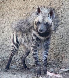 A beautiful striped hyena!