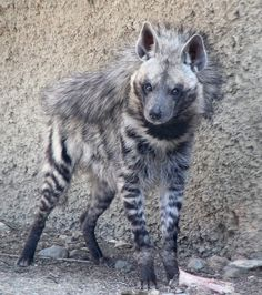 A beautiful striped hyena!