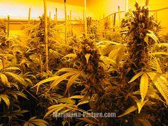 When to Pick Marijuana Buds | hydroponic marijuana / marijuana_hydroponics.jpg