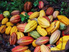 Chocolate Stories: How does cocoa fruit look like? Cacao Fruit, Corn Pancakes, Coffee Farm, Cucumber, Plant Based, Vegetables, Albinism, Food, Graphic Design