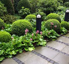 Image result for bergenia and boxwood