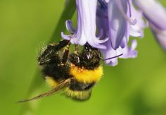 Bluebell with bee, that seems to have succumb to mites