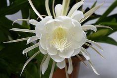 Flor da noite - Benefícios e propriedades