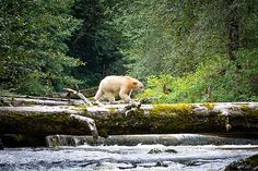 An agreement preserves British Columbia's Great Bear Rainforest, home to the rare spirit bear and other wildlife, but allows some logging.