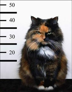 Because cats, especially calicos, are always guilty about something.