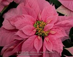 Google Image Result for http://hankinslawrenceimages.files.wordpress.com/2010/12/poinsettia_santa_claus_pink_7462.jpg