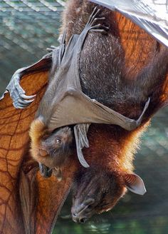 ❤️ Fruit bat with her baby. Animals And Pets, Baby Animals, Cute Animals, Beautiful Creatures, Animals Beautiful, Bat Species, Bat Flying, Especie Animal, Baby Bats