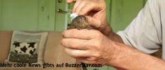 Zwergseidenäffchen ist das kleinste Äffchen der Welt und wird mit einer Zahnbürste sanft gestreichelt  Interessante Neuigkeiten aus der Welt auf BuzzerStar.com : BuzzerStar News - http://www.buzzerstar.com/zwergseidenaeffchen-ist-das-kleinste-aeffchen-der-welt-und-wird-mit-einer-zahnbuerste-sanft-gestreichelt-9915bb156.html
