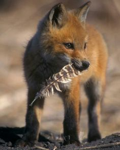 Fox kit with a feather in its mouth #foxes #fox #cute #animals #cubs #cutie #wow #lol #gift #gifts #shirt #foxy #furry #animal #fuchs #füchse #raposo #renard
