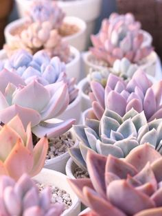 ASSORTED Shades of 10 Pale yellow, green, peach, white and pink succulent cuttings starts plants living growing pale colors - All About Gardens Pink Succulent, Types Of Succulents, Colorful Succulents, Cacti And Succulents, Planting Succulents, Succulents Drawing, Succulent Cuttings, Propagating Succulents, Succulent Terrarium