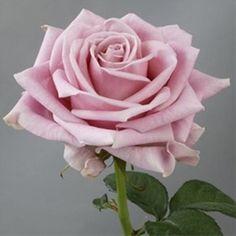 Keano - Standard Rose - Roses - Flowers by category   Sierra Flower Finder