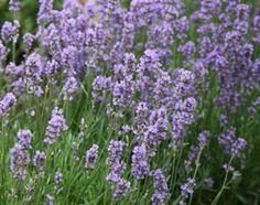 Lavandula angustifolia 'Munstead'  lavender