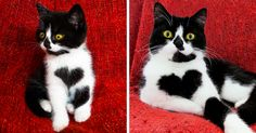 When her soon-to-be humans came over to adopt her sister, kitten Zoë charmed them into adopting her as well. She had a little trick up her chest: a big black heart-marking. Remarkably, no one had noticed this anatomically correct heart patch before then.