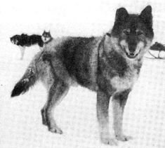 Togo  8.) The real hero of the 1925 Serum Run was really Togo. The 12 year old husky led his sled dog team through 260 miles of blowing Alaskan blizzard to deliver emergency diphtheria serum to Nome. Balto received most of the fame because he led the final 55 miles.