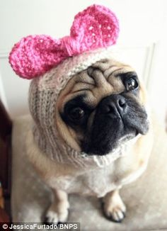 English student Jessica Furtado starts new 'pugs in balaclava' trend by knitting headwear for dogs | Mail Online