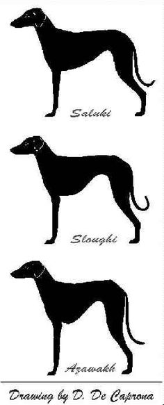 Difference between Saluki Sloughi Azawakh - Dogs    http://sloughi.tripod.com/SFAA/SlSAAZ.html