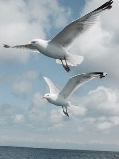American Herring gulls (Larus smithsonianus) with their pink feet and red spot on their beak. Adults are white with gray back and wings, black wingtips with white spots, and pink legs. Pretty Birds, Beautiful Birds, Animals Beautiful, Beautiful Images, Kunst Inspo, Foto Macro, Seagulls Flying, Shorebirds, Tier Fotos