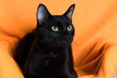 Pictures of Munchkin G a Domestic Shorthair for adoption in Santa Fe, TX who needs a loving home.