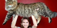 MAINE COONS ARE KEWL   ( I miss my Harley)    Natalie Chettle and Rupert in Melbourne, Victoria, Australia (© Chris Scott/Newspix/Rex Features)
