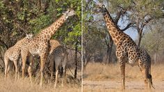 Giraffes' coats provide age clue,, Male giraffes' age can be estimated by looking at the colour of their coats, according to research.    A 33-year study of male Thornicroft's giraffes in Zambia, Africa, has confirmed that the familiar pattern of brown blotches grows darker with age.