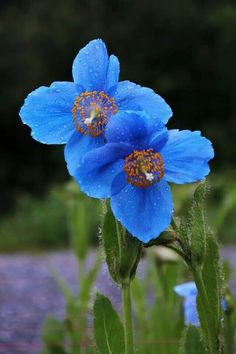 Most Beautiful Flowers, Pretty Flowers, Blue Flowers, Paper Flowers, Wild Flowers, Sunflowers And Daisies, Red Poppies, Valley Of Flowers, Blue Plants