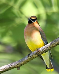 Cedar Waxwing.  They come through northern California in the spring.  But they don't stick around in my neck of the woods.