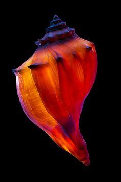 """Florida whelk shell (Busycon sinistrum) backlit with flash""; 19489 - ID: 11316740 © Jim  Zuckerman"
