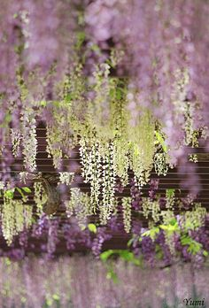 wisteria by * Yumi *, via Flickr