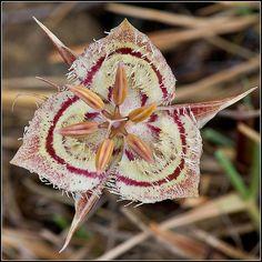 Tiburon Mariposa Lily (Calochortus tiburonensis), a rare and endangered species that grows only on Ring Mountain in Tiburon, Marin, California.  by Ṁ‽ǩ€ §ρ!и@ķ
