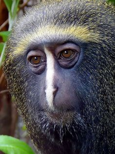 Hamyln's Monkey... also known as the owl-faced monkey, this species of Old World monkey inhabits the bamboo and primary rainforests of the Congo. Little is known about this rare species.