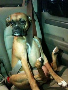 Safety First!! Cute boxer dog!