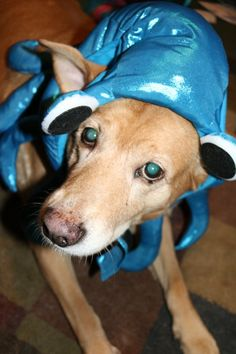 My Friend's Adorable Dog Sadie Dressed as a Squid http://ift.tt/2iMjsTn